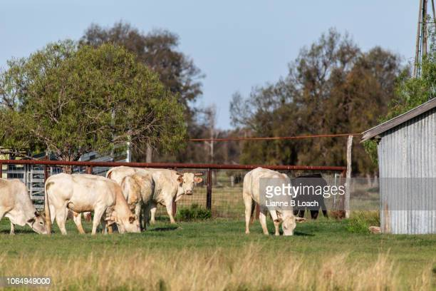 small herd 2 - lianne loach stock pictures, royalty-free photos & images