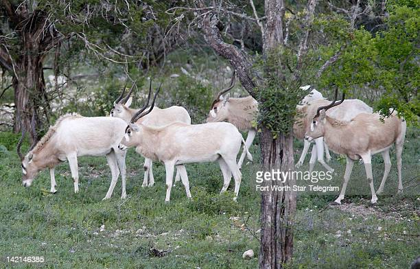 A small herd of Addax feed in the brush of the Morani River Ranch in Uvalde County Texas Wednesday March 21 2012 The US Fish and Wildlife Service is...