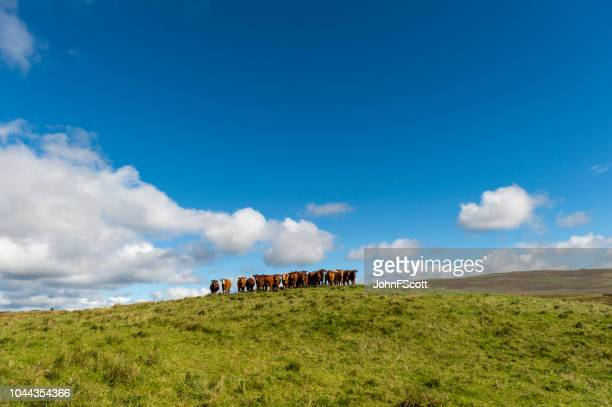 Small herd of beef cattle