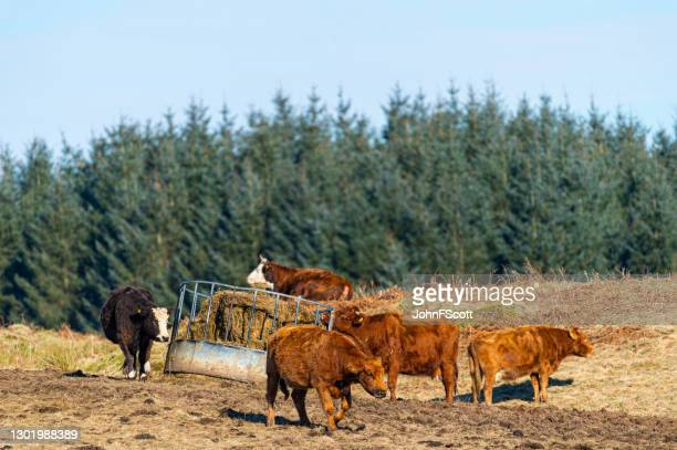 small herd of beef cattle - johnfscott stock pictures, royalty-free photos & images