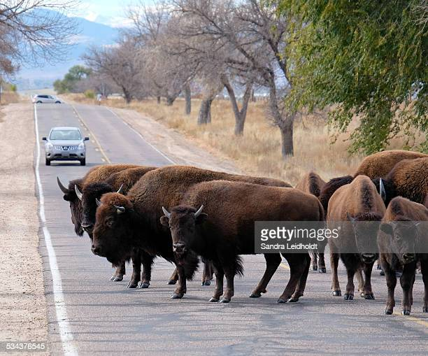 Small Herd of Bison on Road