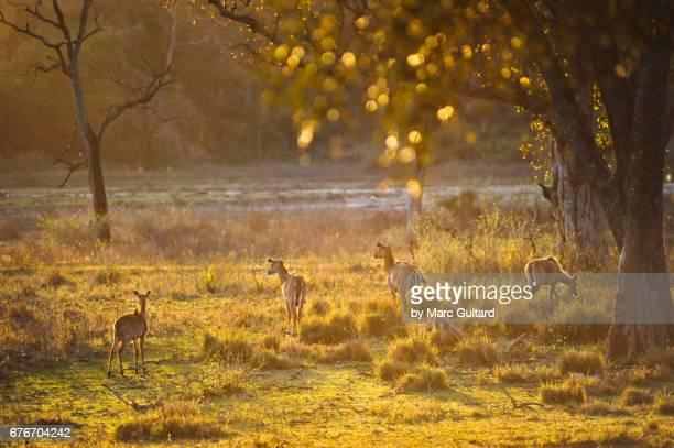 a small herd of sambar deer (rusa unicolor). rajaji national park, uttarakhand, india - national park stock pictures, royalty-free photos & images