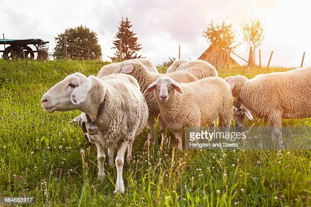 Small herd of sheep grazing in field