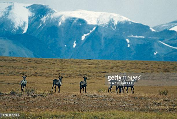 Small herd of Woodland Caribou on the tundra Mackenzie Mountains Yukon Canada