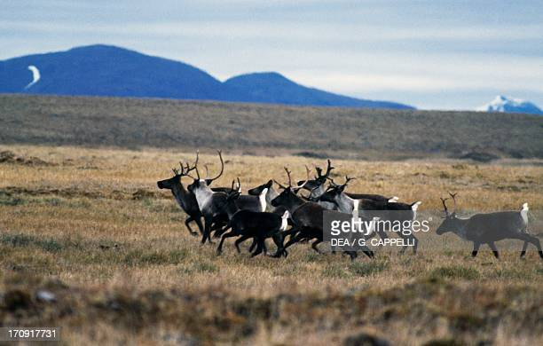 Small herd of Woodland Caribou on the tundra Selwyn Mountains Yukon Canada