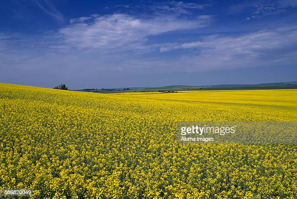small hillside of canola - canadian prairies stock photos and pictures