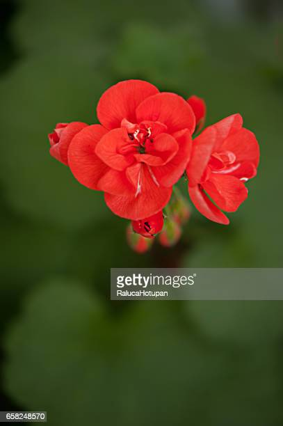 small hot red geranium bloom