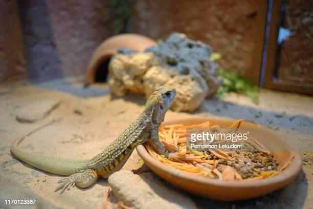 small iguana - 爬虫類 ストックフォトと画像