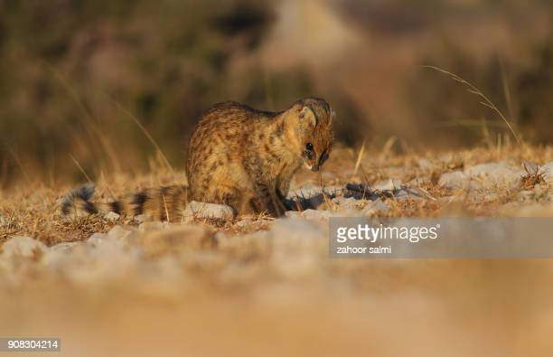 small indian civet - civet cat stock photos and pictures