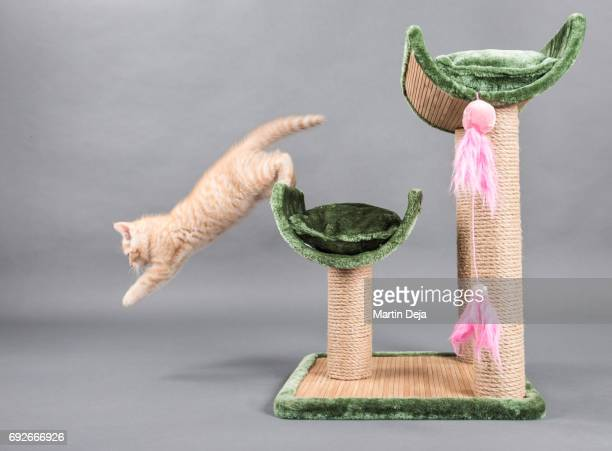 Small kitten is jumping of a cat tree