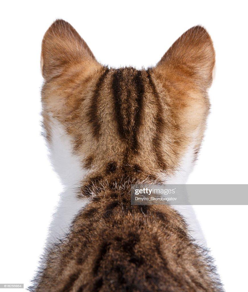 small kitten isolated on white background : Foto de stock
