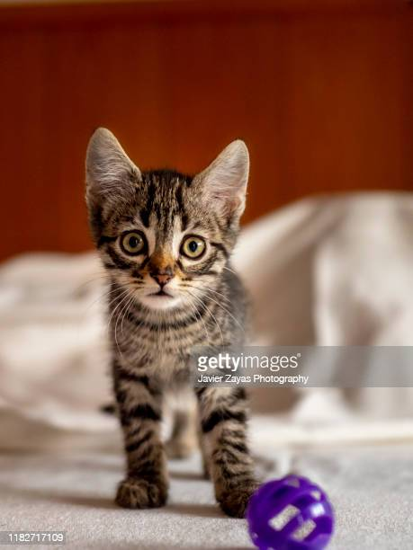 small kitten playing with a magenta ball - kitten stock pictures, royalty-free photos & images