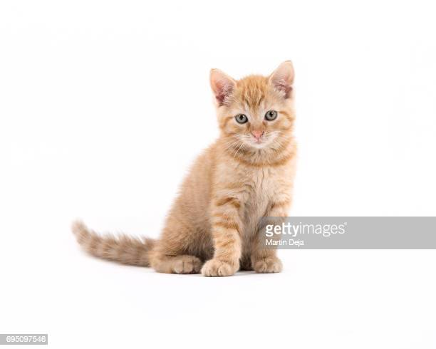 small kitten posing - kitten stock pictures, royalty-free photos & images