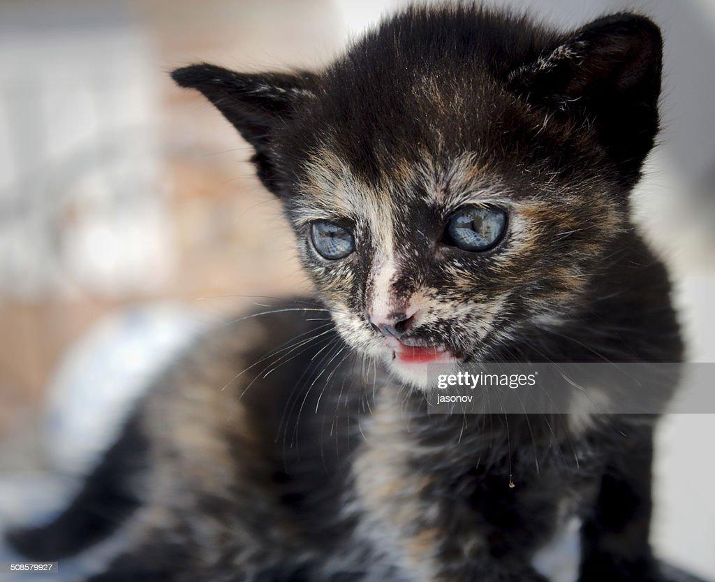 Petit chaton avec yeux bleus est triste : Photo