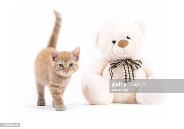 Small kitten with Teddy