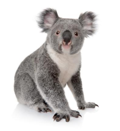 Small koala sitting on white background 98201918
