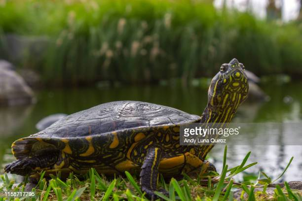 small land turtle - box turtle stock pictures, royalty-free photos & images