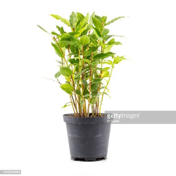 small laurel tree in flower pot isolated on white background. closeup. - bush stock pictures, royalty-free photos & images