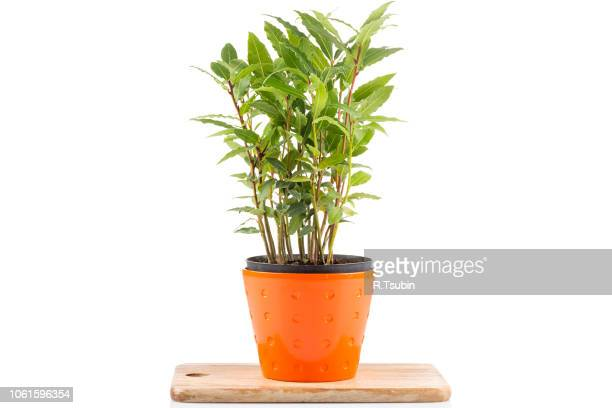 Small laurel tree in flower pot isolated on white background. Closeup.