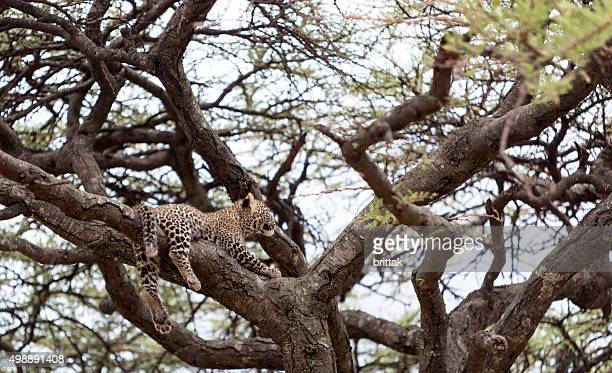 Small leopard cub resting in a big tree Masai Mara.