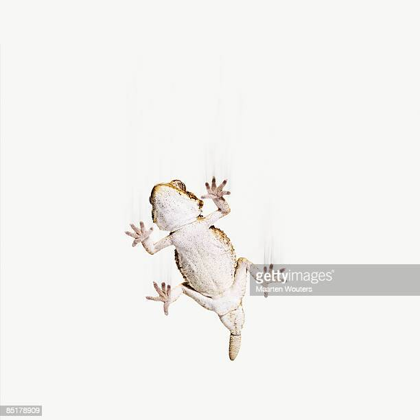 small lizard (gecko) falling from the sky