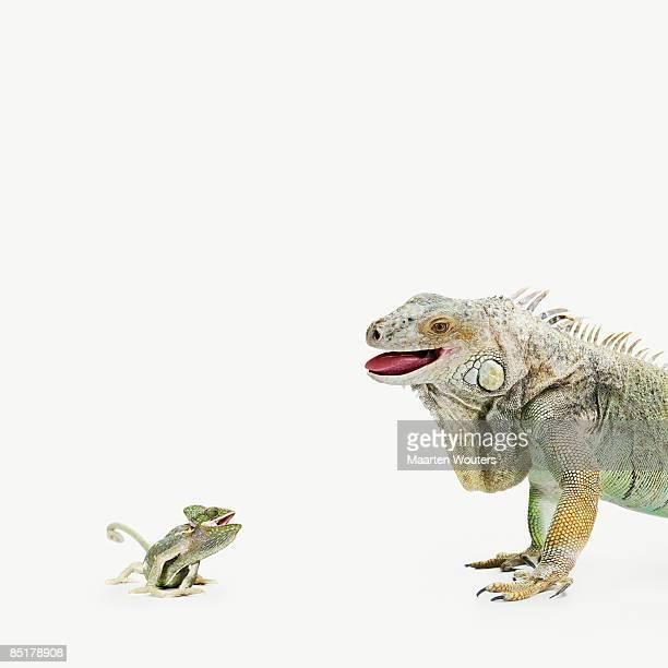 small lizard (chameleon) talking to a big iguana