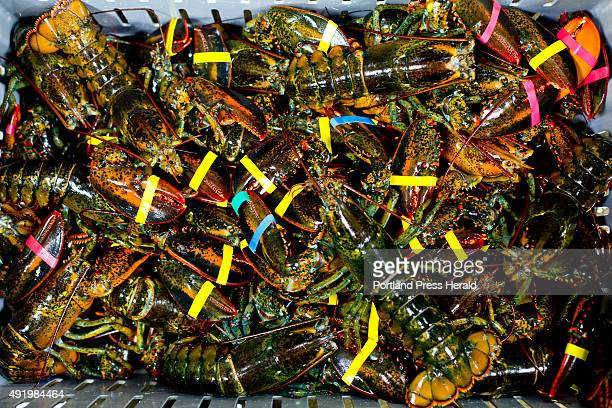 Small lobsters sit in a crate waiting to be unloaded at Free Range Fish Lobster on Commercial Street in Portland Tuesday September 29 2015 Much like...
