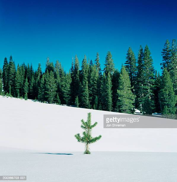 Small lone pine tree in snow