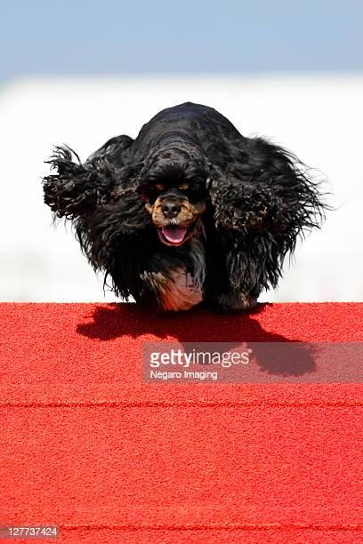 small long haired black dog - ウェスト・バークシャー ストックフォトと画像
