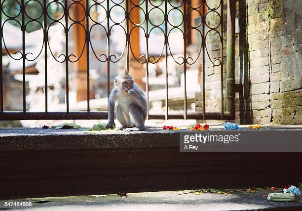 Small macaque monkey
