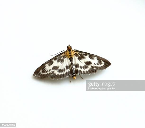 small magpie moth (eurrhypara hortulata) - moth stock pictures, royalty-free photos & images