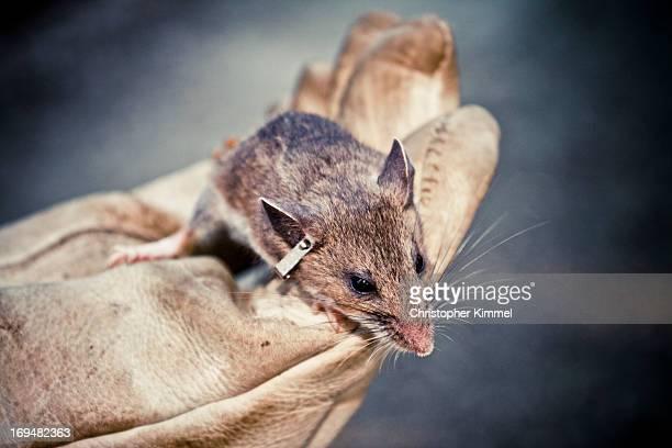 small mammal trapping - hjortmus bildbanksfoton och bilder