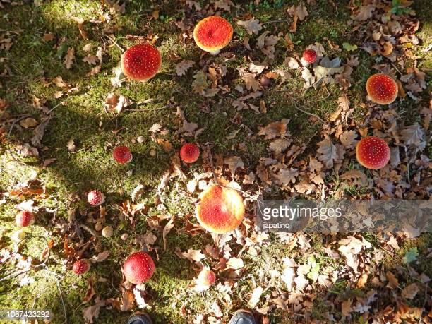 small mushrooms sprouting on the forest floor in autumn - forest floor stock photos and pictures