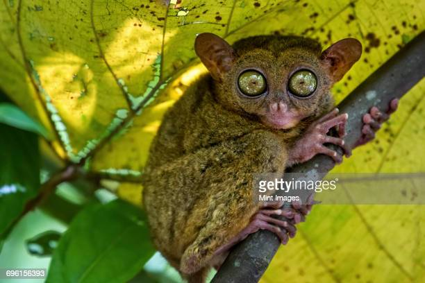 a small nocturnal animal, the tarsier, with fixed round eyes, on a tree branch. - tarsier stock photos and pictures