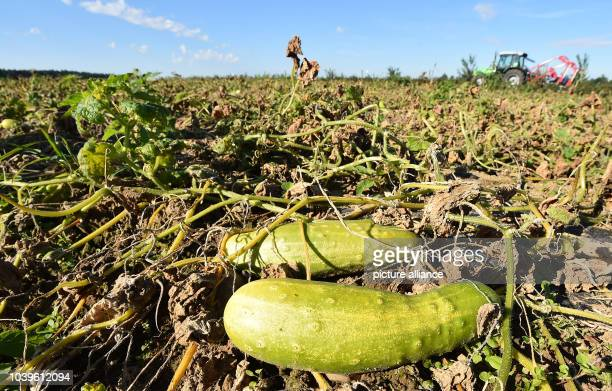 Small organic cucumbers lies between fungal infested leaves at the Biohof Schoeneiche organic farm in Schoeneiche Germany 08 August 2016 Due to...