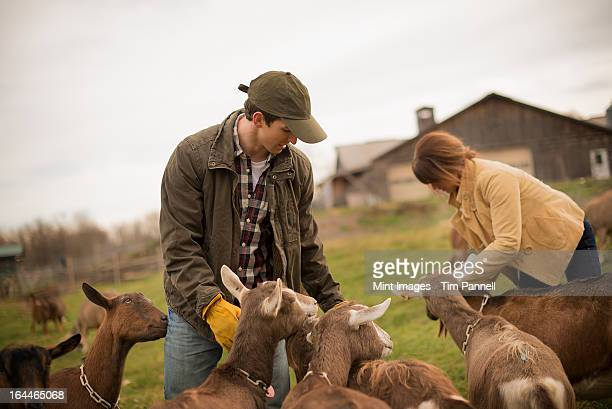 小さなオーガニック酪農場でミックスの牛の一団