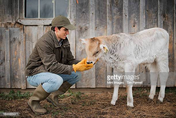 a small organic dairy farm with a mixed herd of cows and goats.  farmer working and tending to the animals. - calf stock pictures, royalty-free photos & images