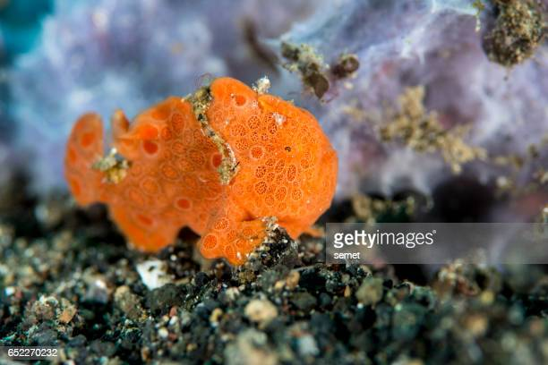 small painted frogfish - Antennarius pictus