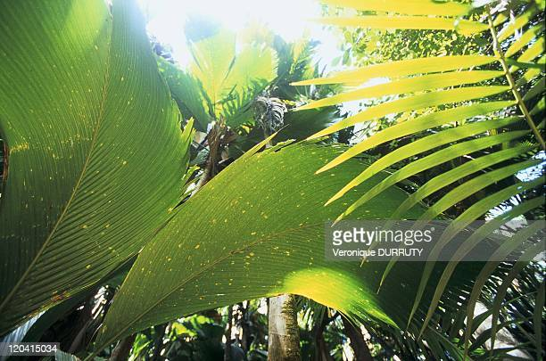 Small palm trees Mai valley in Praslin Seychelles Vallee de mai nature reserve is part of the UNESCO World heritage In the heart of the small island...