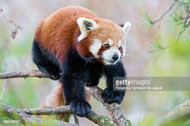 small panda walking down the branch - red panda stock pictures, royalty-free photos & images