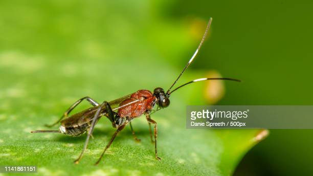small parasitic wasp i - african wasp stock pictures, royalty-free photos & images
