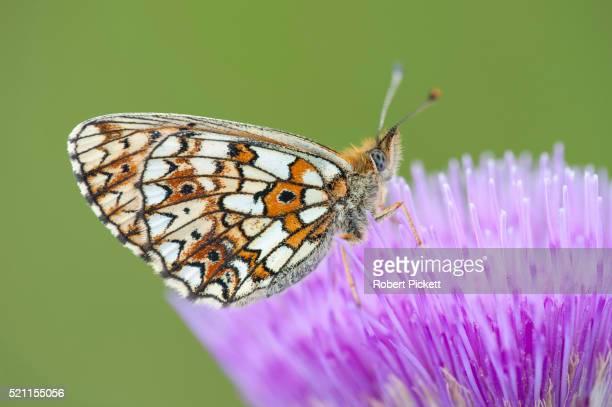 Small Pearl Bordered Fritillary Butterfly, clossiana selene f.hela, Finland