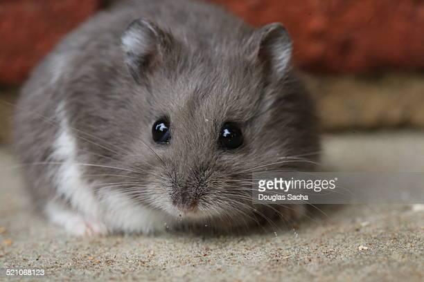 Small pet dwarf hamster