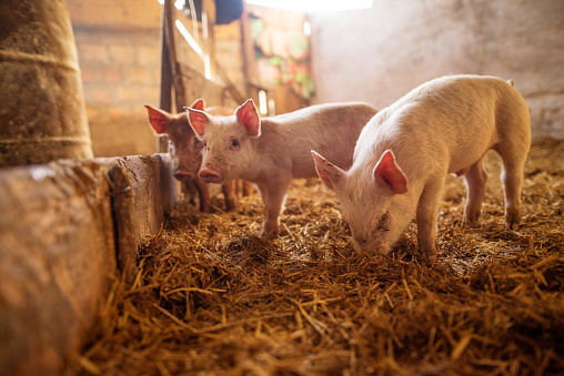 A small piglet in the farm. Swine in a stall. Shallow depth of field. 936354348