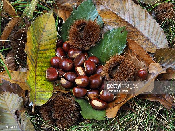 small pile of chestnuts on the ground in a forest, cannobio, lake maggiore, piedmont, northern italy - châtaigne photos et images de collection