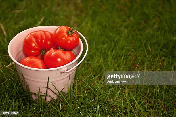 A small pink bucket of picked tomatoes