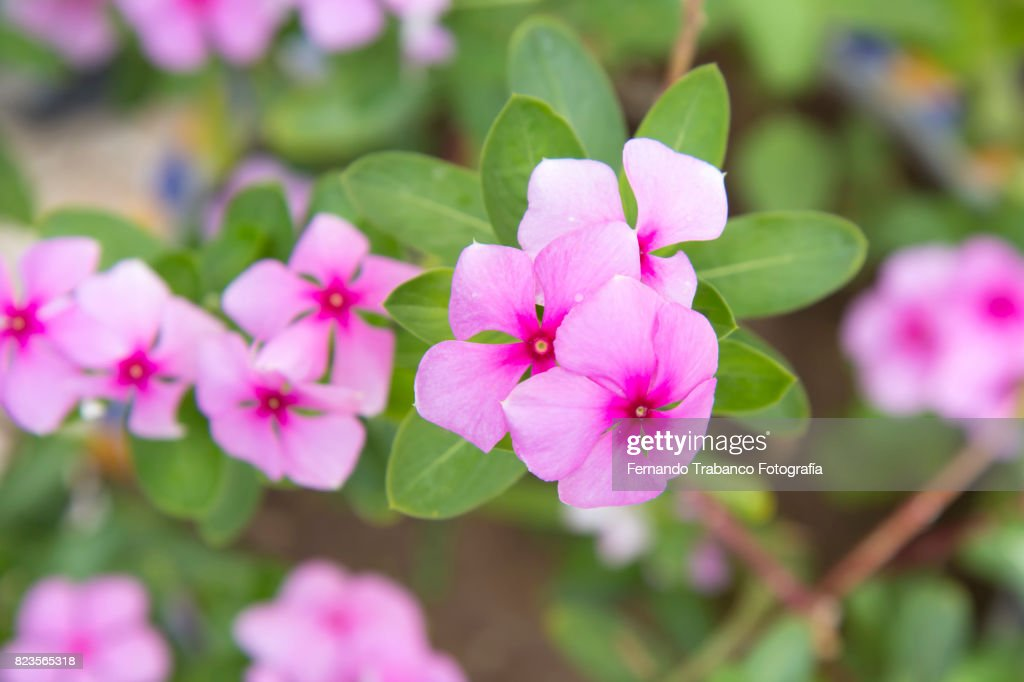 Small pink flowers in spring stock photo getty images small pink flowers in spring stock photo mightylinksfo