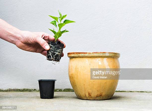 Small plant being transferred into a bigger pot