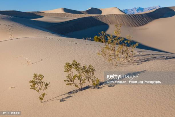 small plants struggle to live in harsh climate of death valley sand dunes - death valley photos et images de collection