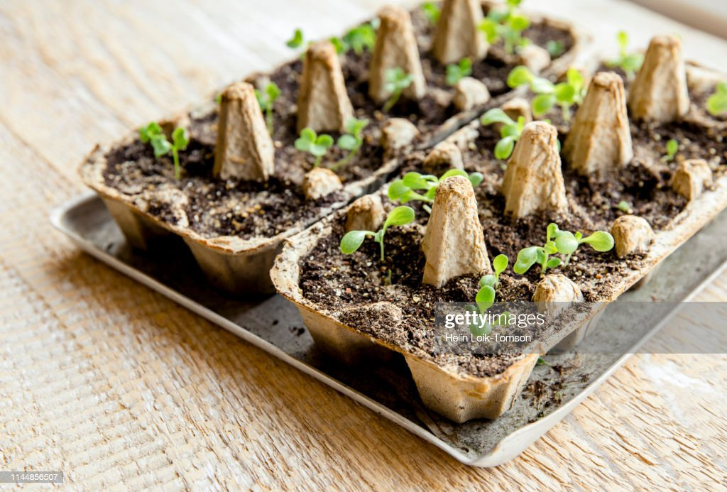 Small plats growing in carton chicken egg box in black soil. Break off the biodegradable paper cup and plant in soil outdoors. Reuse concept. : Stock Photo
